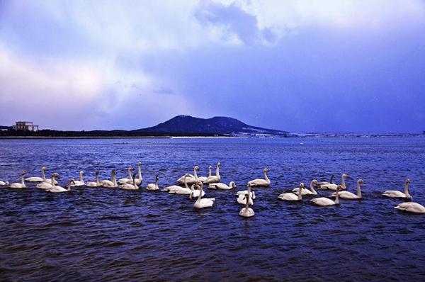 烟台风景 天鵽湖